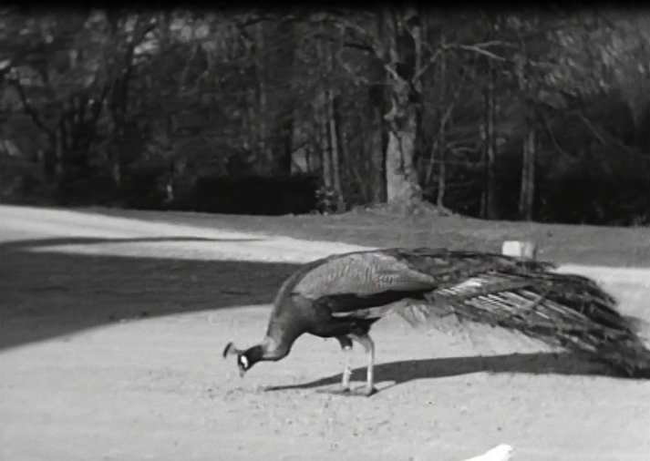 Peacock at Bowcliffe Hall