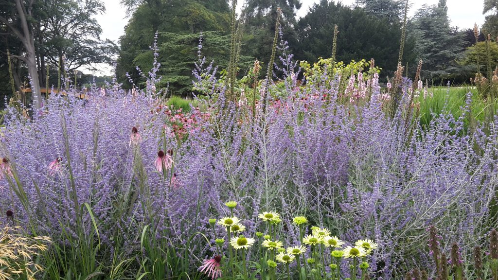 The wow factor pictured above displaying Agapanthus in front of Plumes of Perovskia and Echinacea heads!